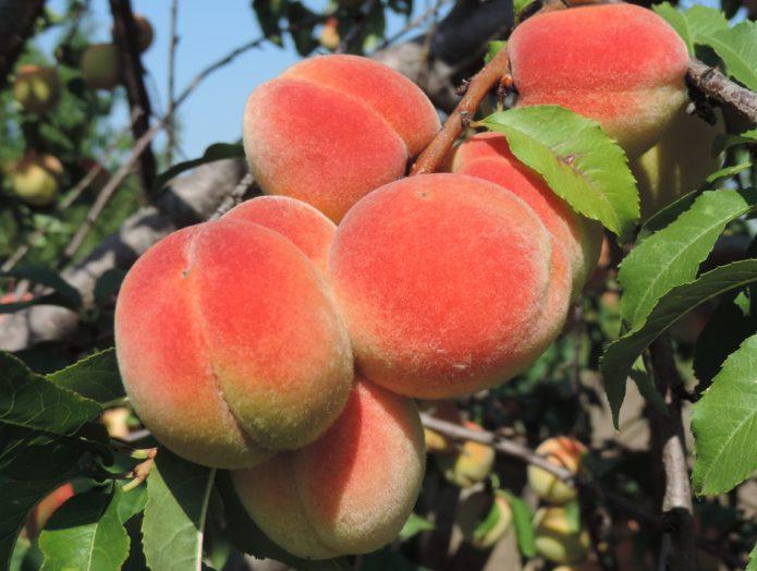 Болезни персика курчавость листьев лечение
