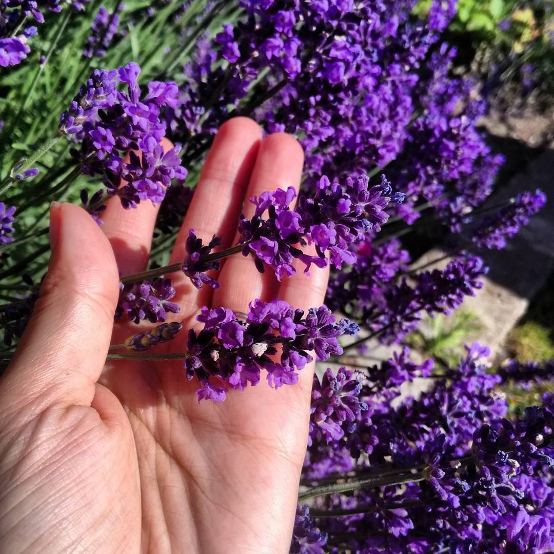 Лаванда — выращивание цветов в саду