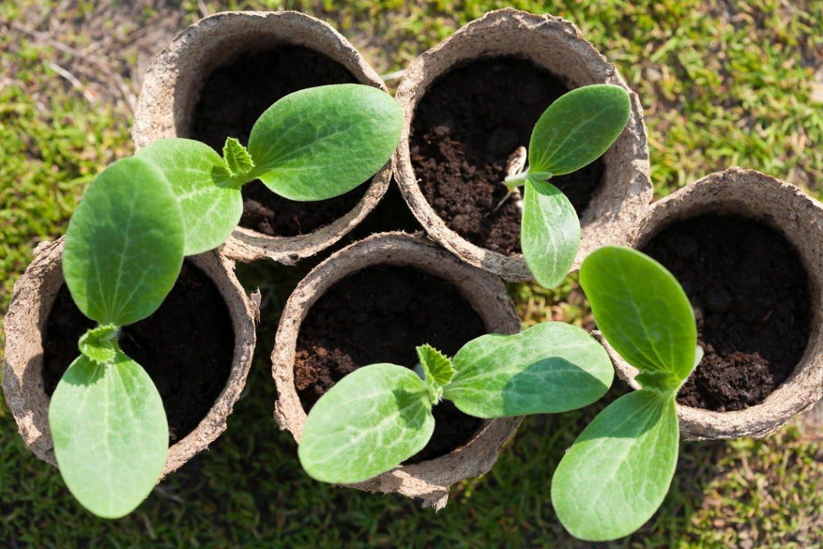 Как вырастить рассаду кабачков: правильный сорт и сроки посадки