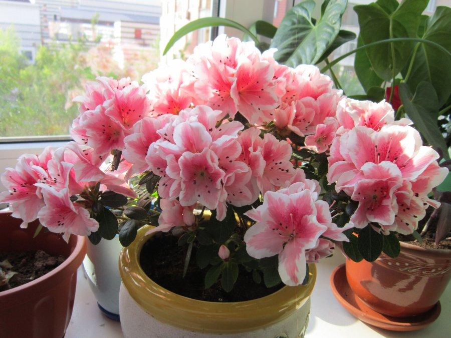 комнатные цветы азалия фото названия и уход решить иную проблему