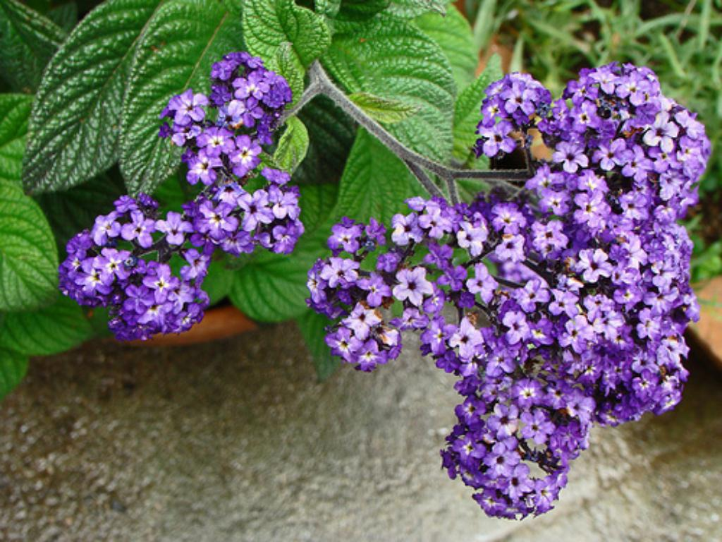 Ароматный цветок гелиотроп: сорта и разновидности с фото