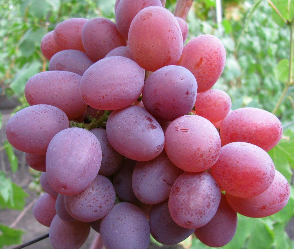 Рута: один из новых сверхранних сортов столового винограда с черешневым ароматом