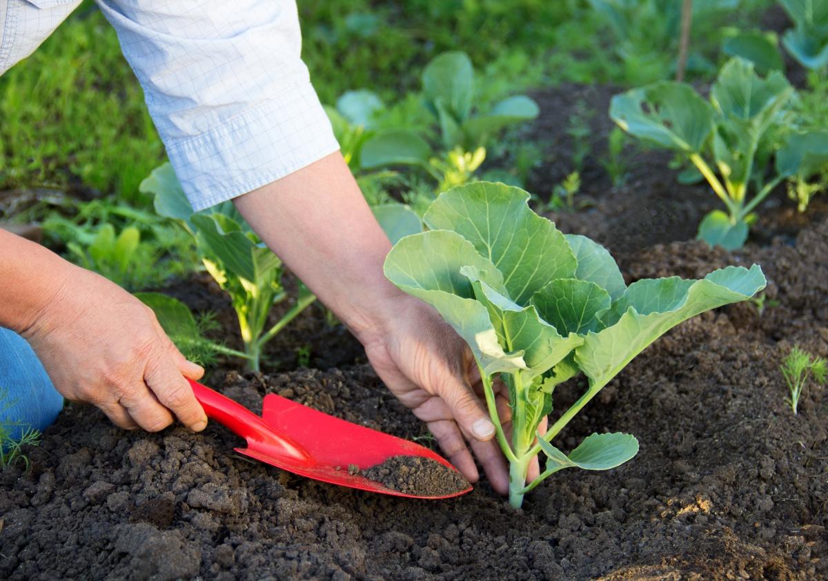 Как посадить капусту на рассаду: посев семян и уход за всходами