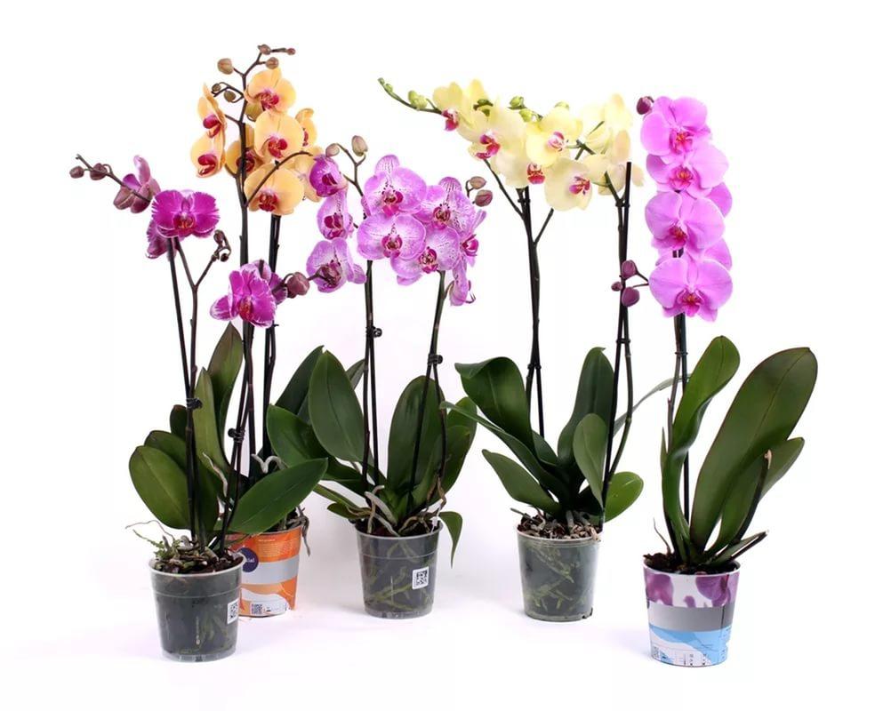 Орхидеи в горшке: какими должны быть емкости для выращивания цветков,  особенности ухода, фото растений