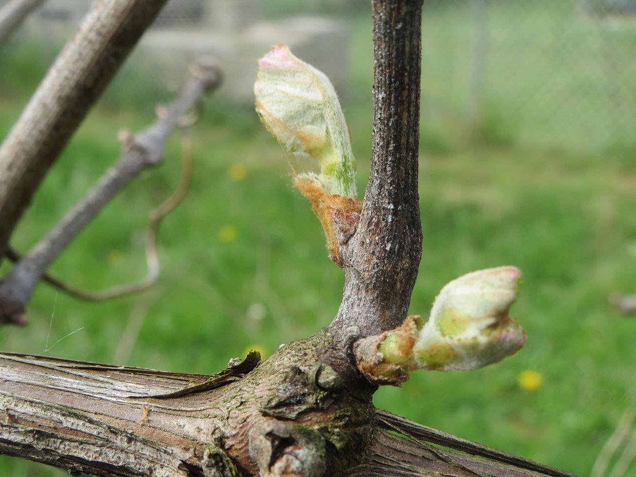 Прививка винограда: когда следует её выполнять, чтобы не упустить время