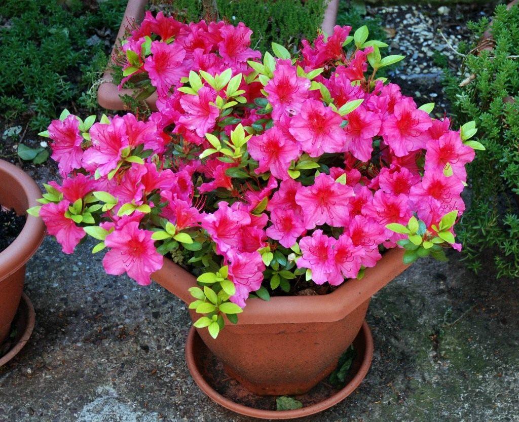 Цветок азалия: фото, выращивание и уход за растениями