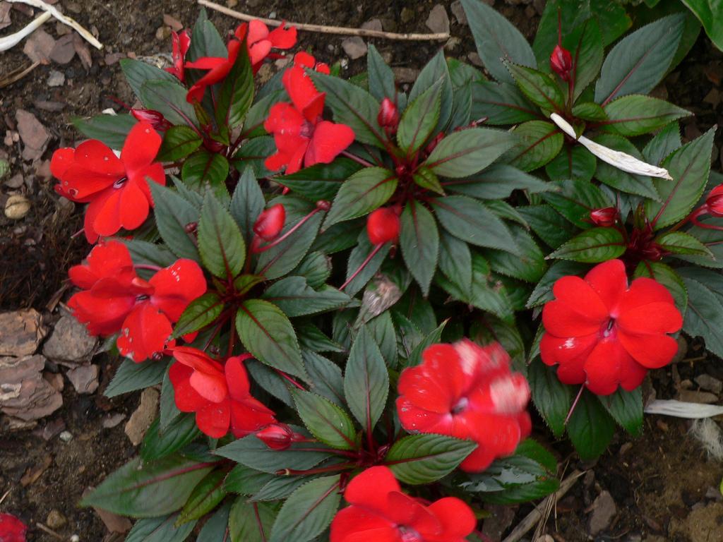Бальзамин садовый: выращивание из семян, посадка и уход