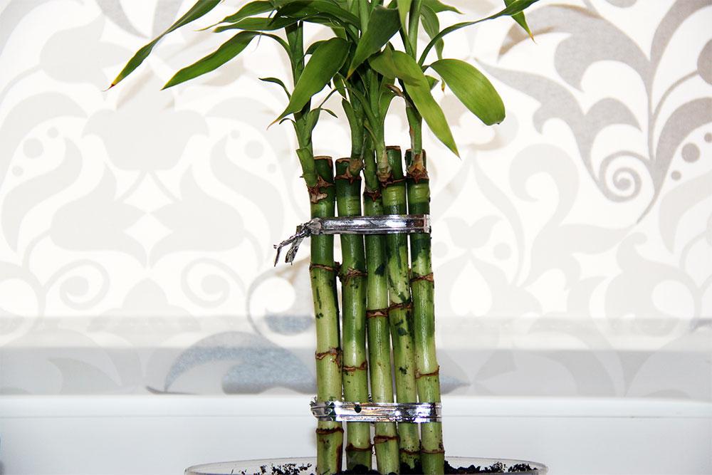Посадка, размножение и уход за бамбуком в домашних условиях, фото
