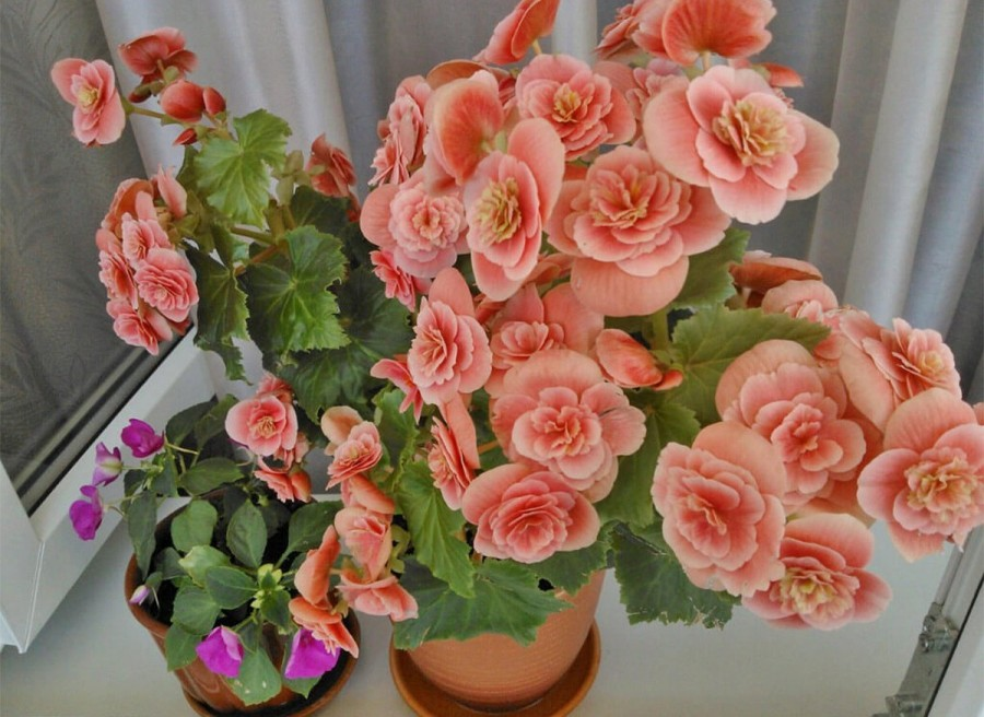 Цветок бегония комнатная виды, посадка, уход
