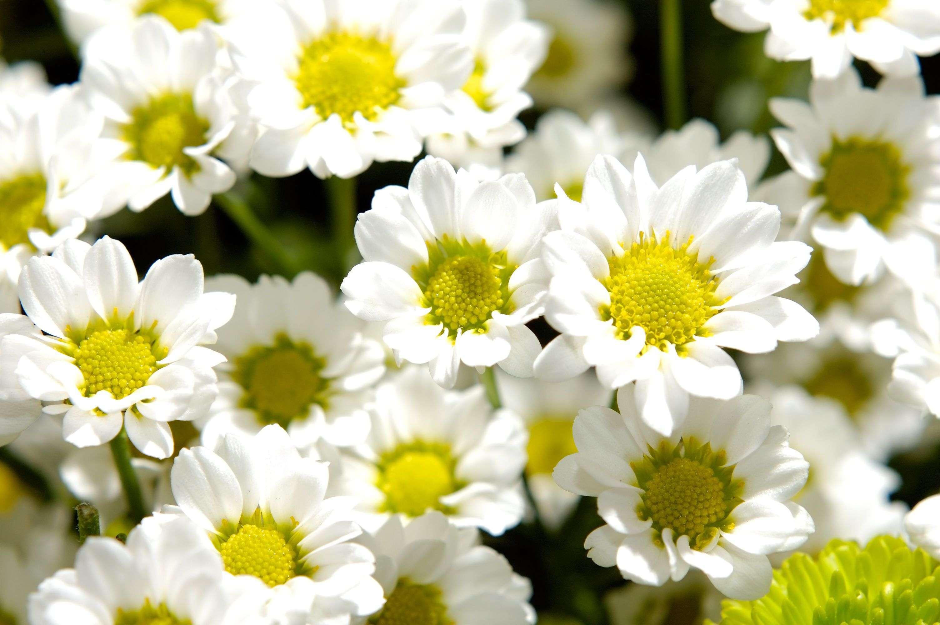 Сорта хризантем, разнообразие цветов и их фото