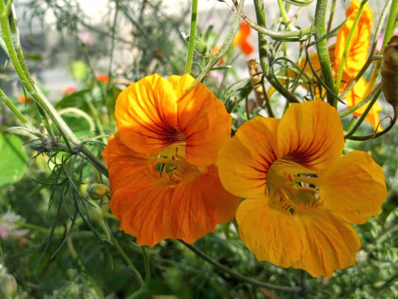 Выращивание настурции: описание, фото цветов