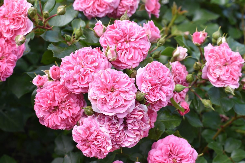 Когда пересаживать розы осенью или весной