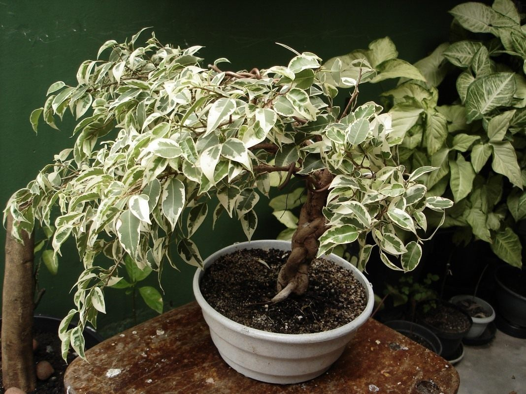 Почему фикус Бенджамина не растёт — особенности выращивания