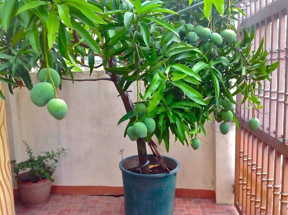 Выращивание манго из косточки в квартире, как оно растет?