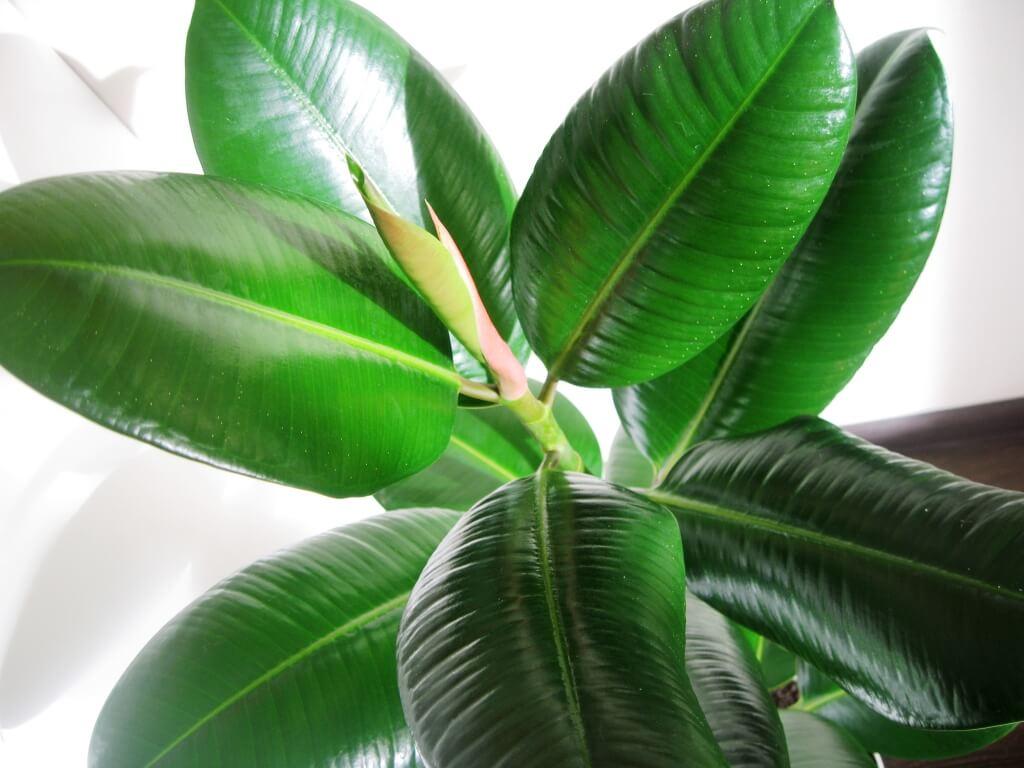 Как укоренить фикус с крупными листьями