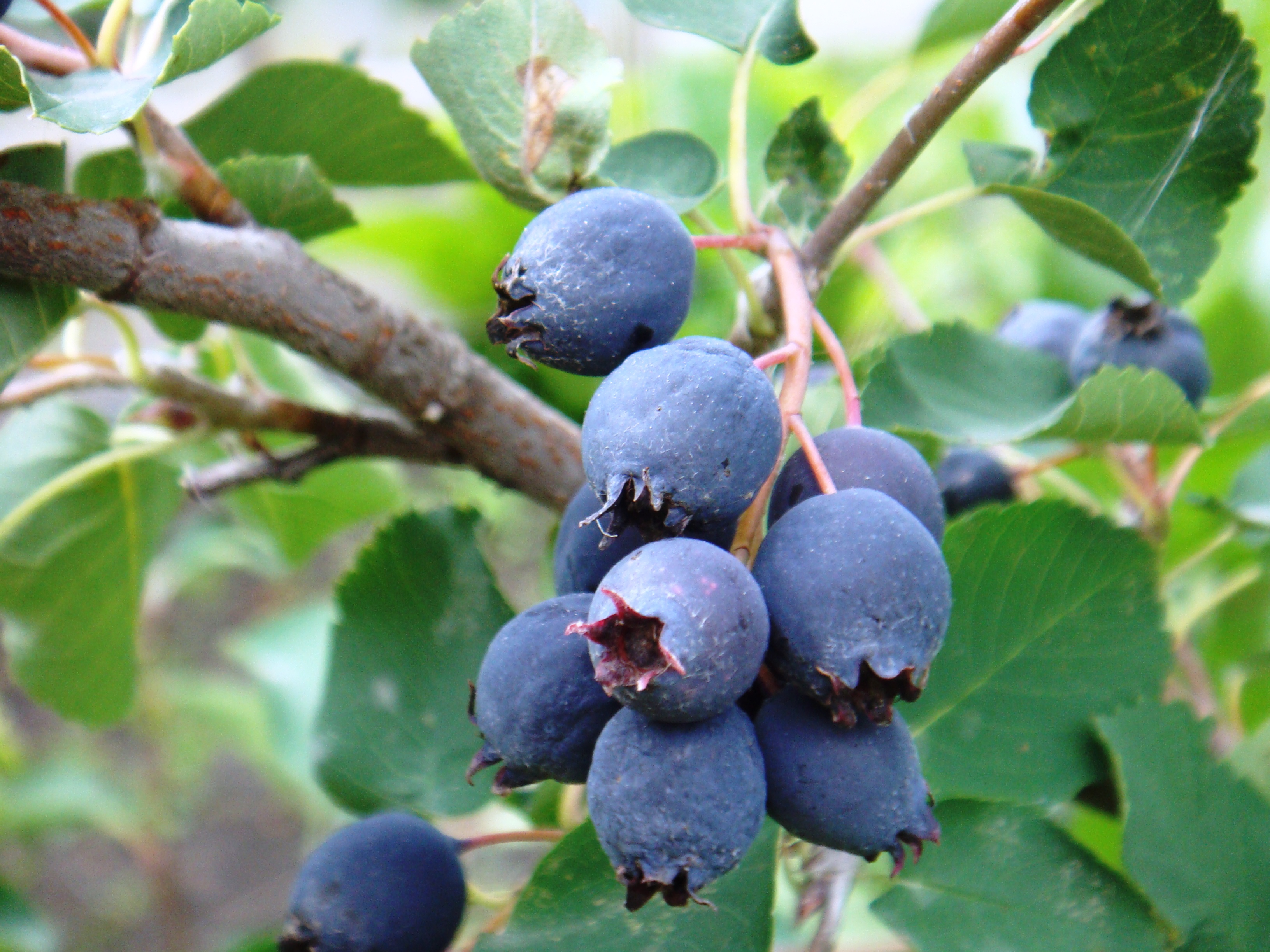 Ирга: описание разновидностей и популярные у садоводов сорта