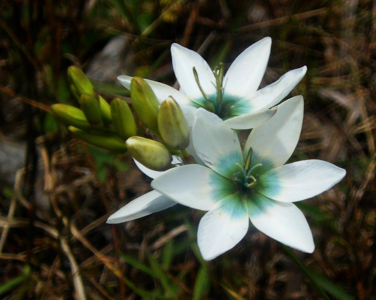 Иксия: посадка и уход за экзотическим цветком в открытом грунте, фото