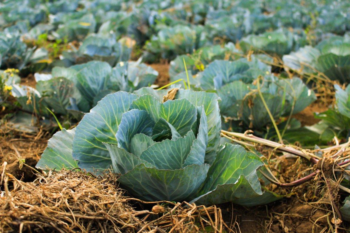 Сорта белокочанной капусты: фото и названия