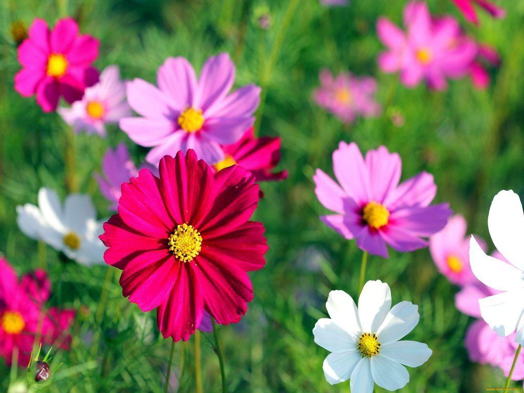 Картинки цветы космея