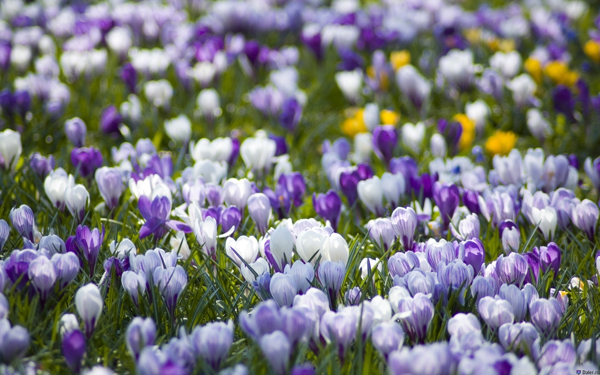 Цветы крокусы: выращивание в домашних условиях, посадка и уход
