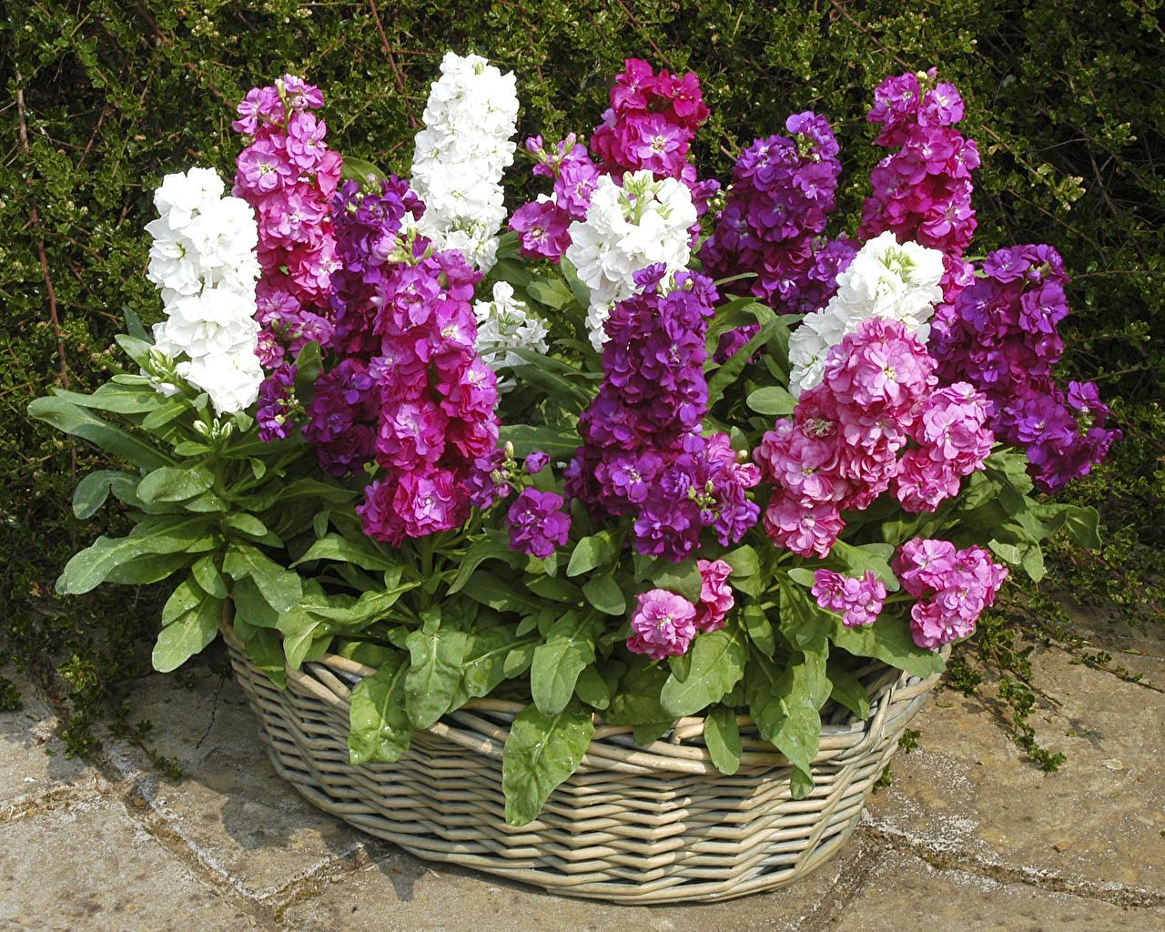 Душистые цветы сумерек — левкои, правила посадки и фото