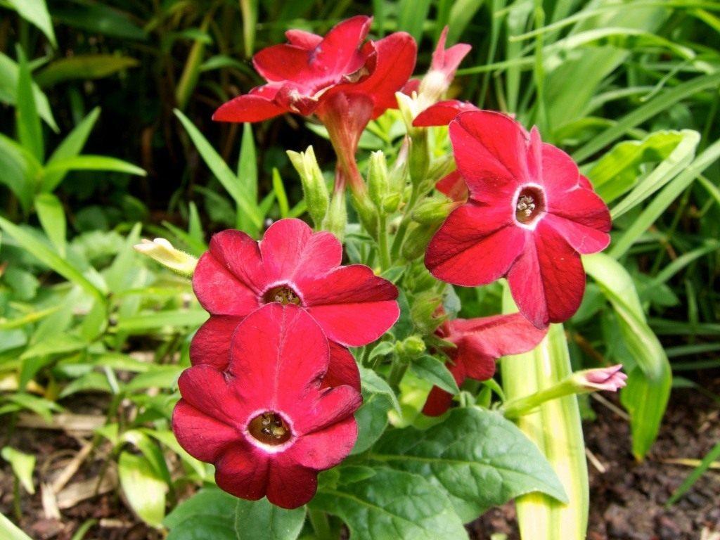 Выращивание из семян душистого табака