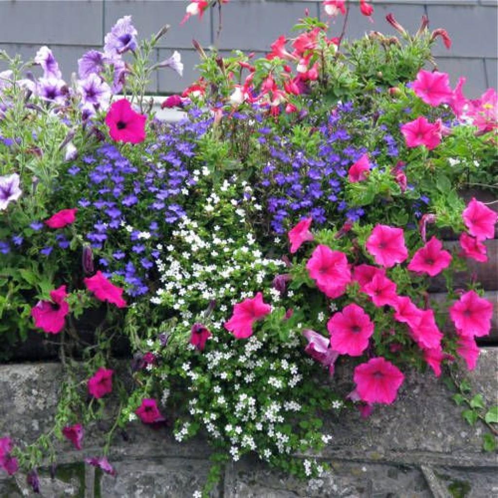 Оформление клумб из петуний в саду: фото и примеры