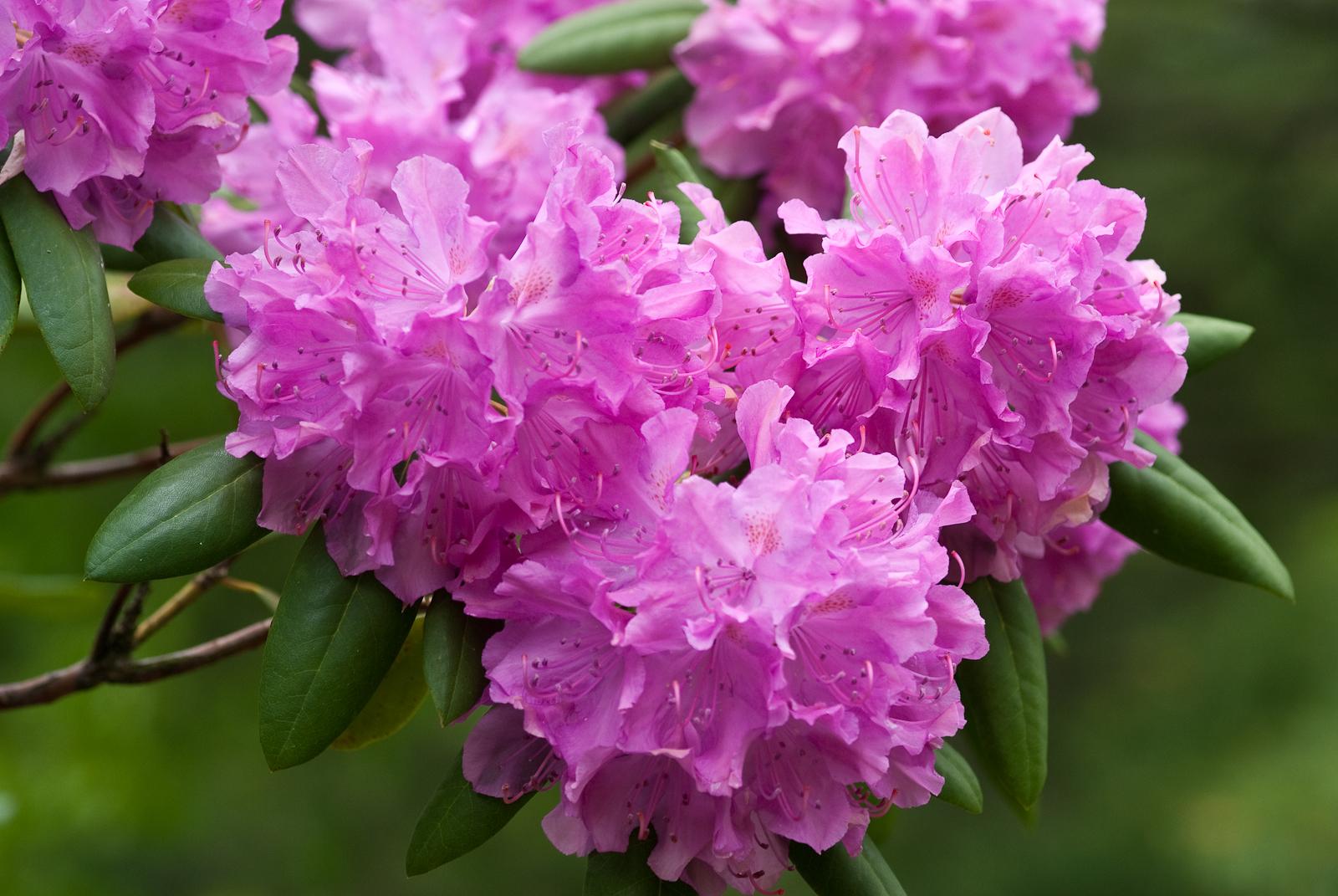 Посадка и уход за рододендроном садовым: советы, фото