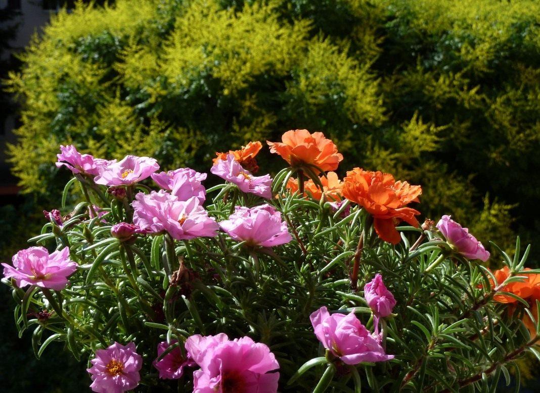 Портулак описание выращивание из семян и уход