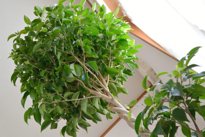 Почему у фикуса бенджамина зимой опадают листья и что делать если они все осыпаются
