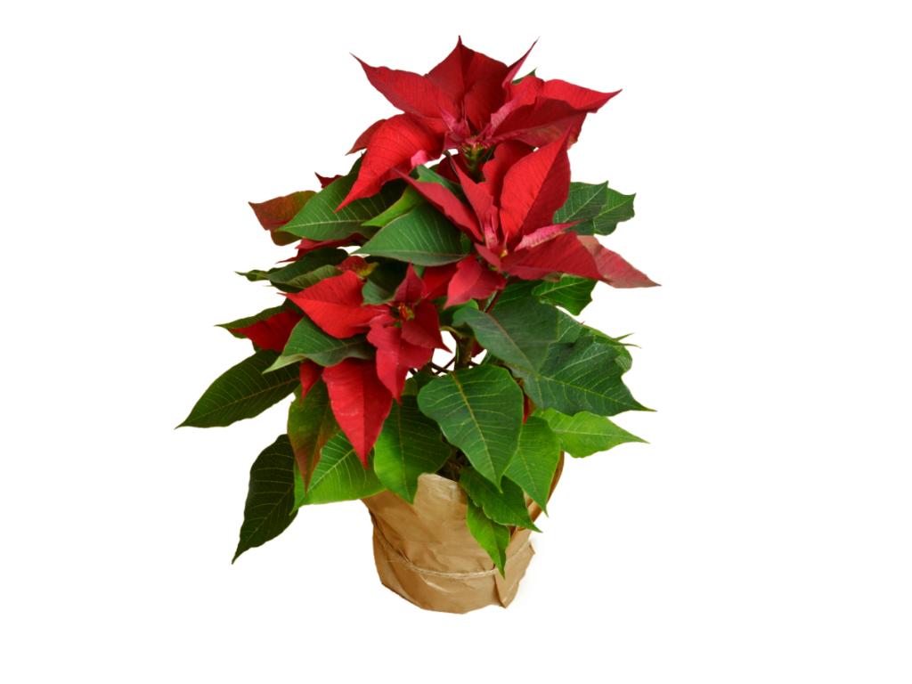 Как цветет цветок рождественская звезда