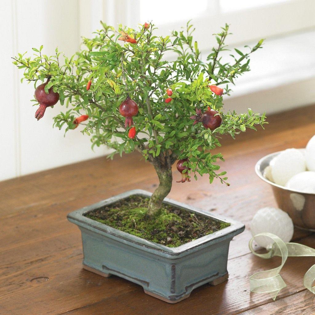 Как ухаживать за гранатом в домашних условиях в горшке, выращивание из семян и черенков, уход за гранатовым деревом дома для начинающих