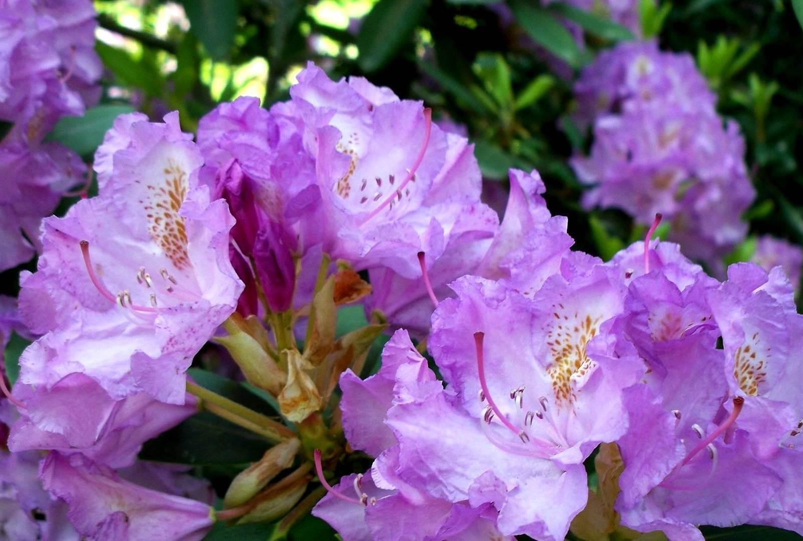 Рододендрон: полезные свойства растения, технология выращивания и уход
