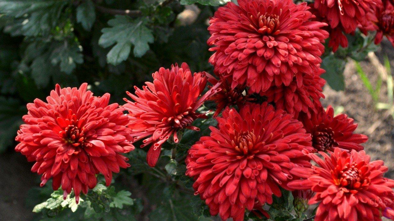 Многолетние садовые хризантемы: сорта, виды и фото