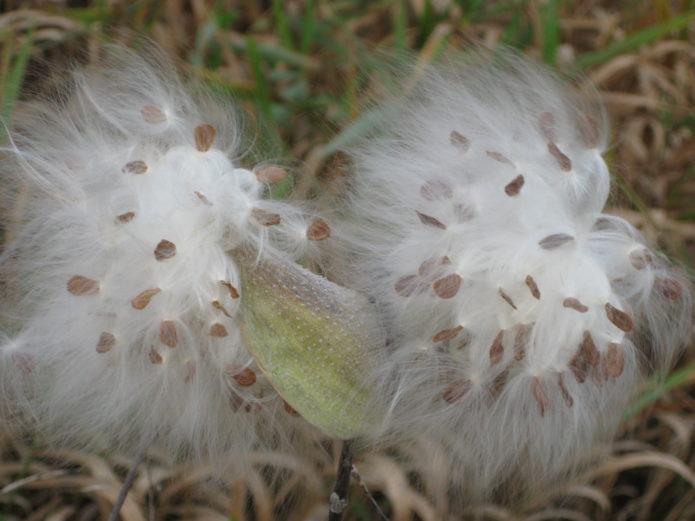 Ваточник посадка семенами