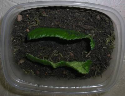 Посадка листовых фрагментов