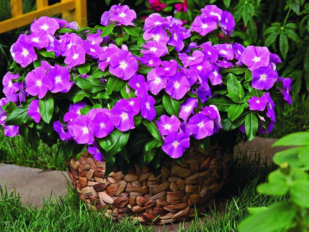 Особенности выращивания барвинка, фото садовых цветов