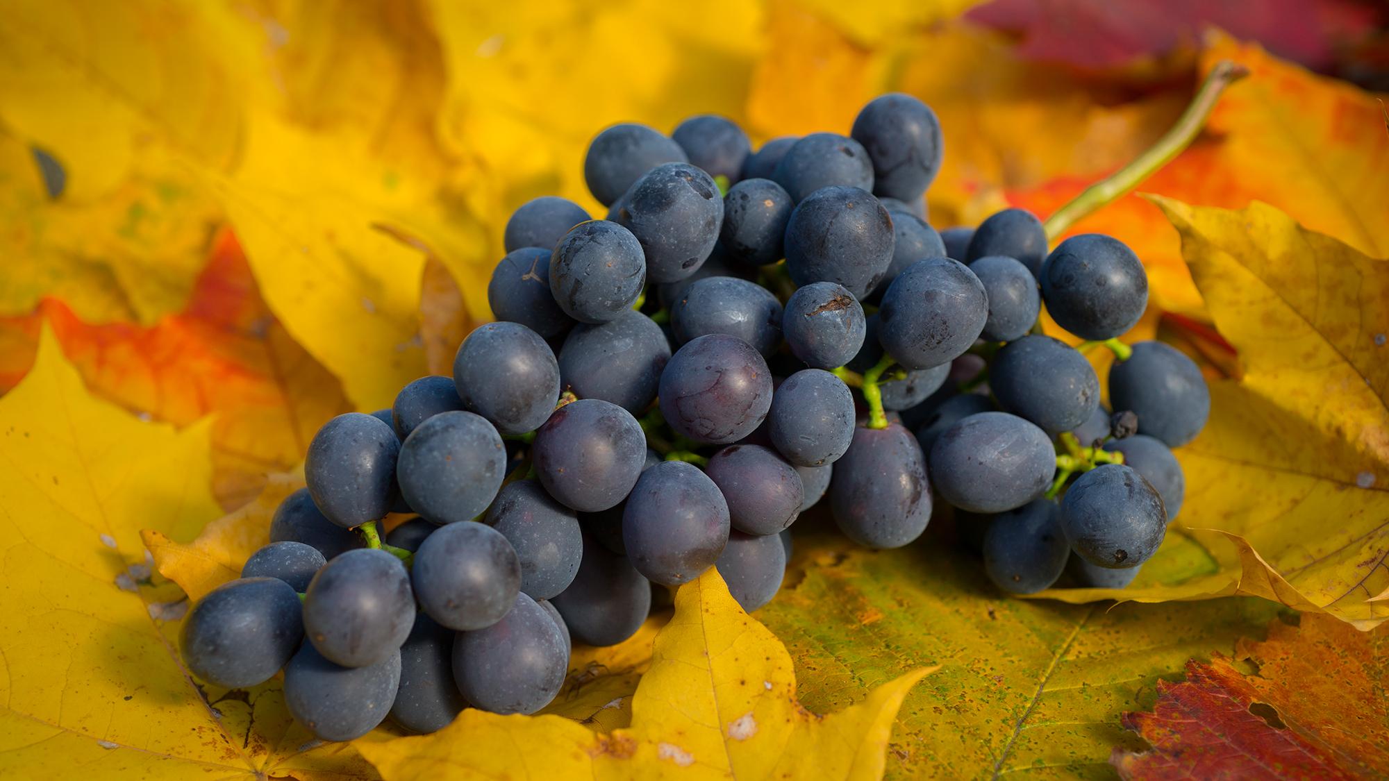 Донской Агат – драгоценный сорт винограда: родословная, характеристики и сравнение с другими сортами