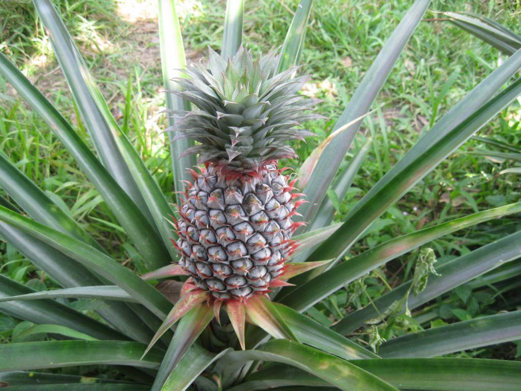 Домашний ананас и уход за ним, фото, размножение