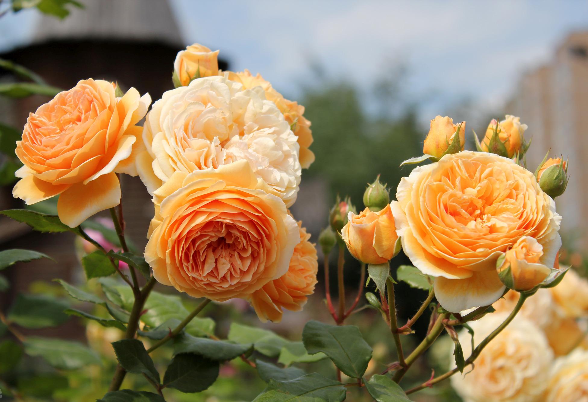 О старинных и современных сортах роз, их описание и названия