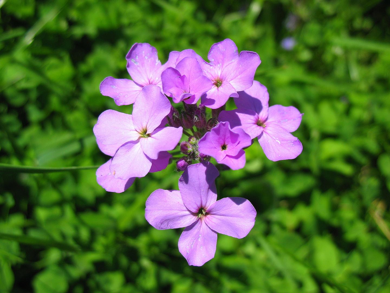 Ночная красавица фиалка: фото цветка и особенности его выращивания