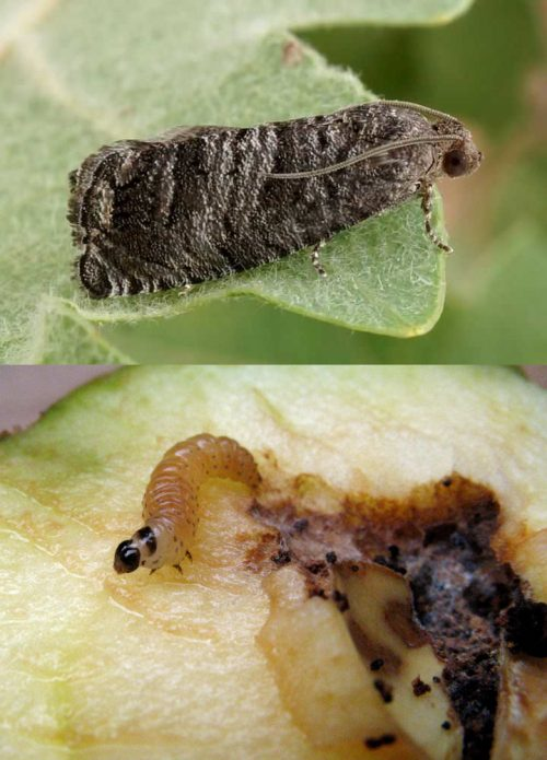 Бабочка и гусеница грушевой плодожорки