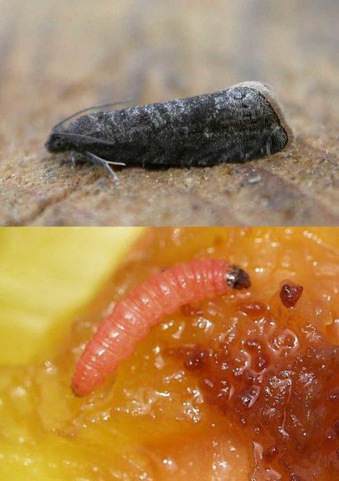 Бабочка и гусеница сливовой плодожорки