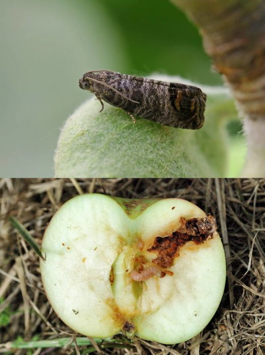 Бабочка и гусеница яблоневой плодожорки
