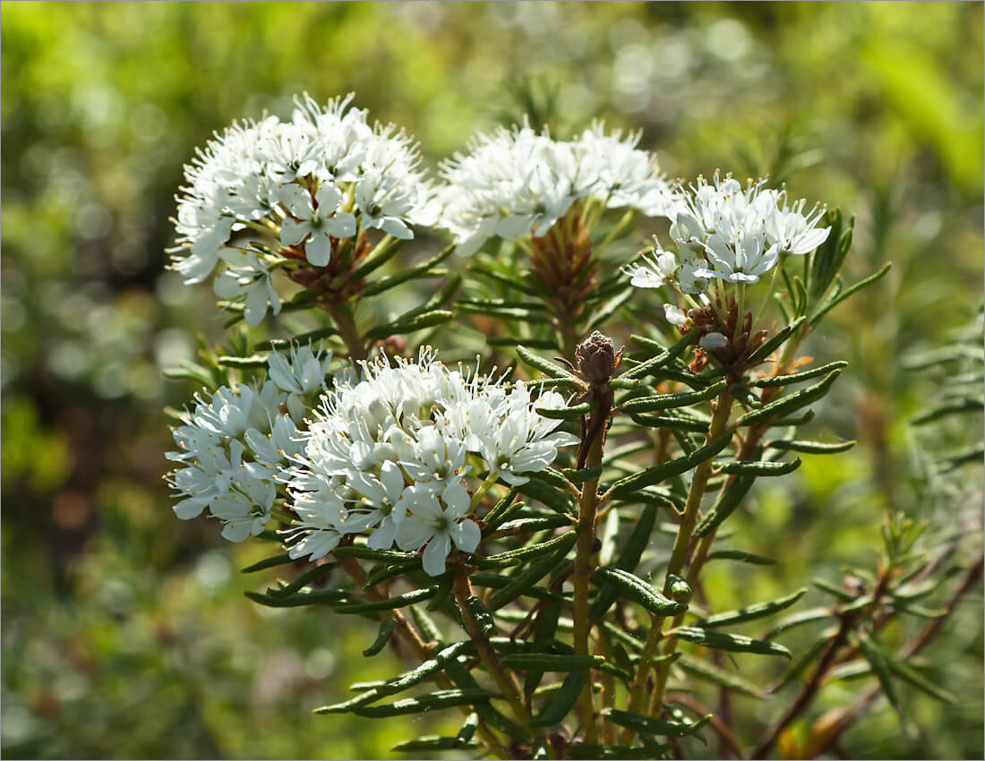 Когда цветет растение багульник и как он выглядит?