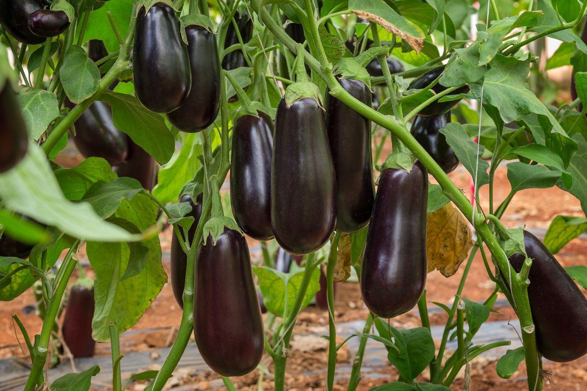 Как правильно культивировать баклажан Клоринда и где купить семена?