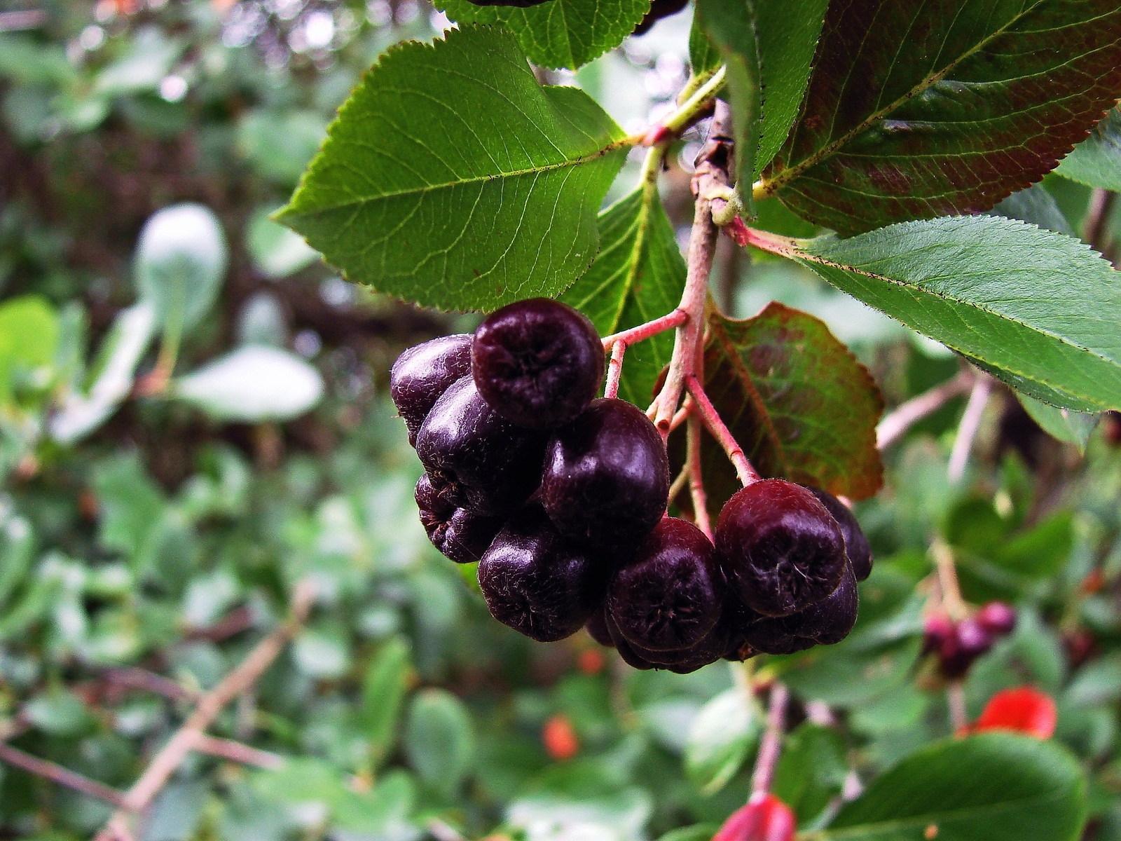 Арония черноплодная и рябина обыкновенная — растения-родственники