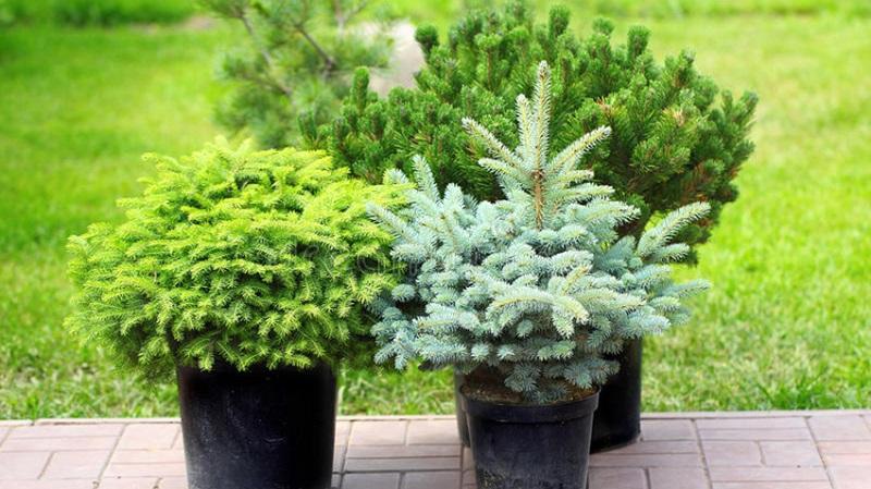 Маленькие хвойные растения