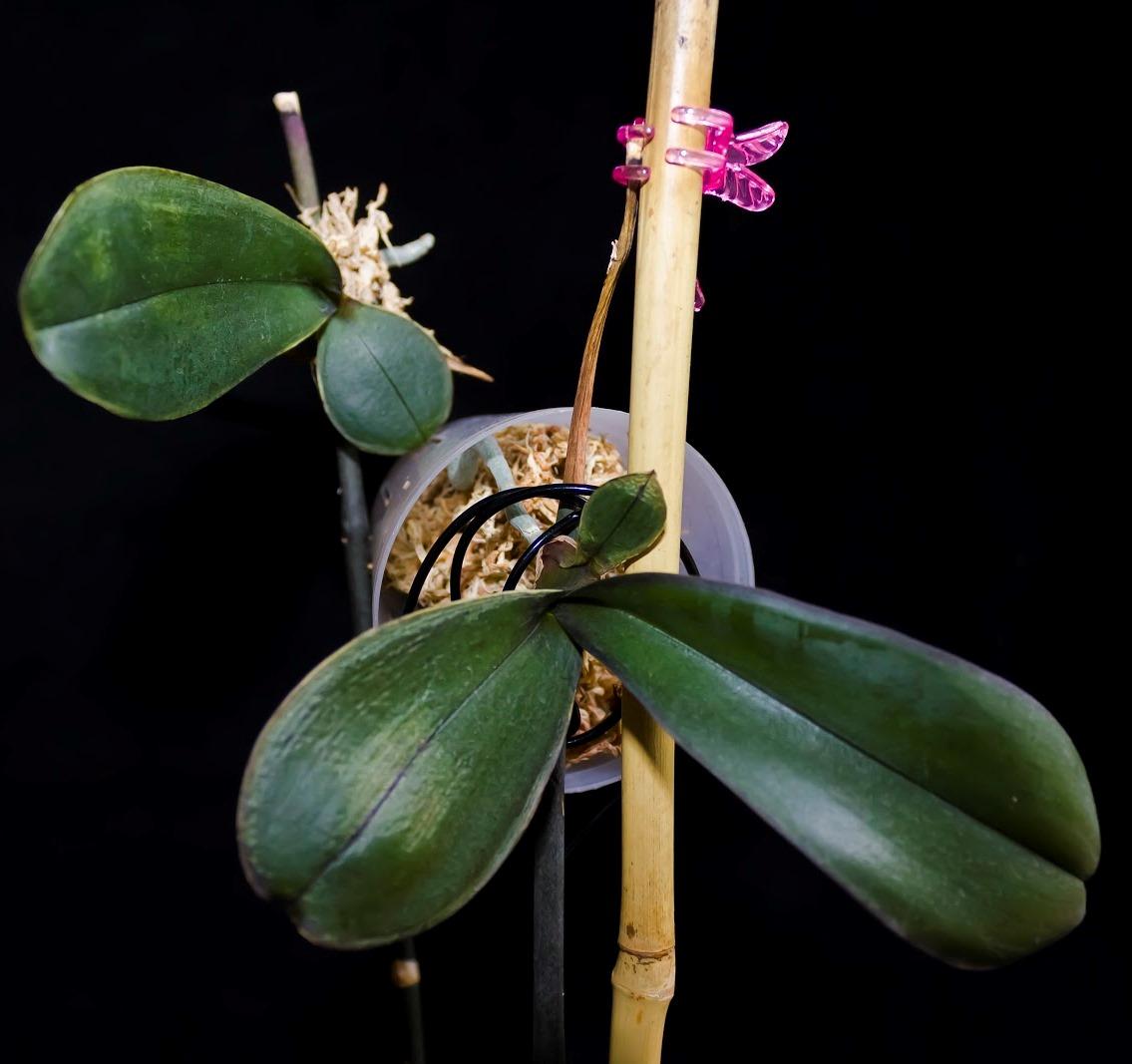 Как рассадить орхидею в домашних условиях: советы, фото