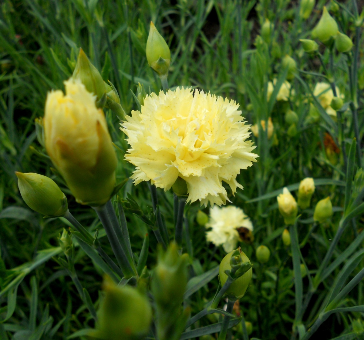 Гвоздика шабо: особенности посадки и ухода, фото цветка